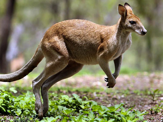 Healesville Sanctuary kangaroo